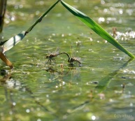 Dragonflies ... doing stuff. Did you know that the male is really rough and almost drowns her in the process of all this procreating? She gets pissed off sometimes and eats him I do believe. Bit surprised she puts up with so much crap before.